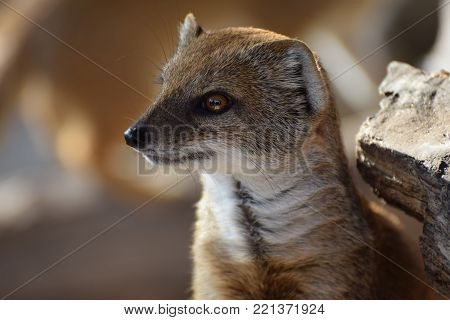 Close up Portrait of a Yellow Mongoose