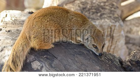 Portrait of a yellow mongoose sitting on a rock
