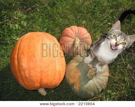 Cat At Pumpkins