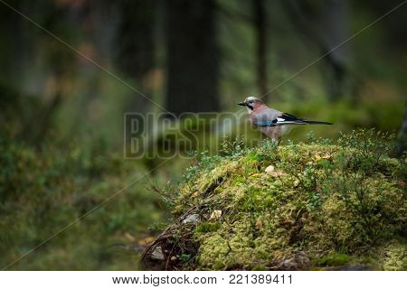 Garrulus glandarius. Expanded throughout Europe. Photographed in Finland. Wildlife of Finland. Beautiful picture. Bird. Free nature. From bird life. Karelia.