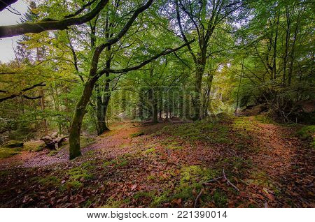 Fairy tale forest in Scottish Highlands with trees covered by green moss and red fall leaves covering the ground