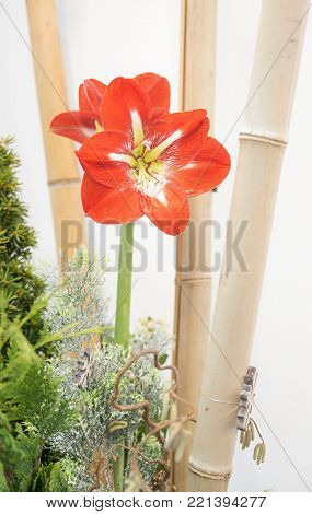 room decoration asia style with bamboo cane and red amaryllis, cypress branches
