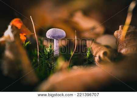 Amethyst Deceiver mushroom (Laccaria amethystea), an edible mushroom that mainly grows in beech leaf litter.