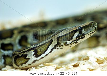 Close up view of python snake in zoo