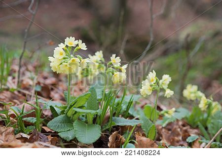 cowslip flowers at springtime at the forest ground with brown leaves