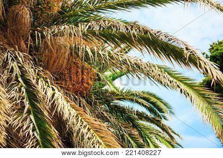 Date palm tree with dead leaves and cluster of orange unripe dates.