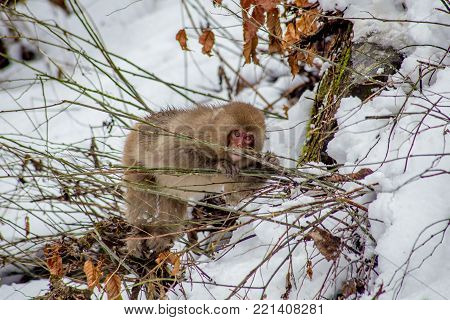 A Japanese Macaque, or snow monkey, eats small green branches outside the Jigokudani Monkey Park in Nagano Prefecture, Japan.  In winter, food becomes scarce for the monkeys, so they eat anything they can chew.