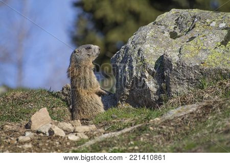 Marmot of the alps in alert inside a hole
