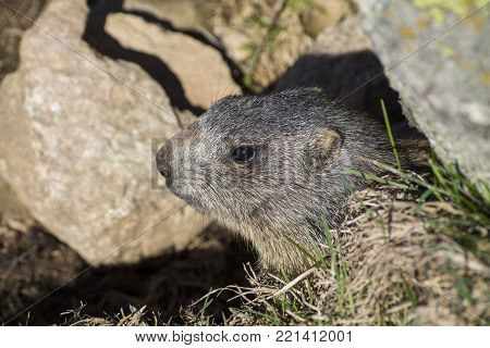 Marmot on the alps inside a hole