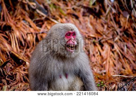 A female Japanese Macaque, or snow monkey, yells at a male who attempted to get a bit frisky, which she clearly didn't appreciate.  These monkeys are the northern most non-human primates in the world