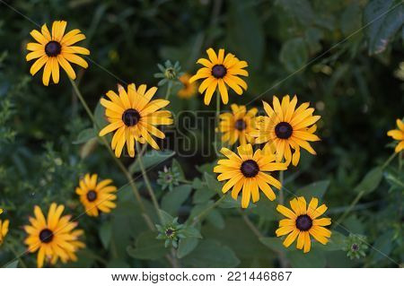 yellow Flowers with black center Rudbeckia hirta or black-eyed Susan growing in the green garden