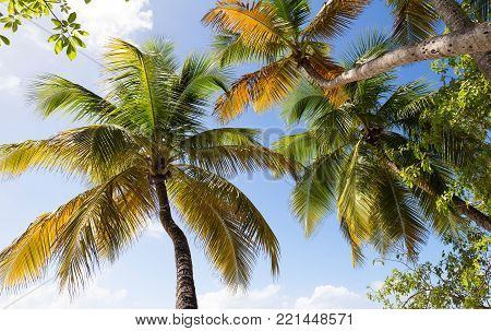 View of palm trees from below, Martinique island, French West Indies.