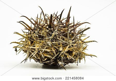 Dried dead cactus with large curved needles. On white background for cut-out. Plant Ferocactus, side view at the level of the eye look.
