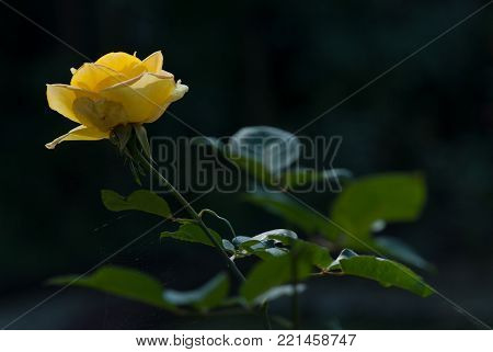 Yellow rose on long sturdy green stem with branchy leaves on black background.