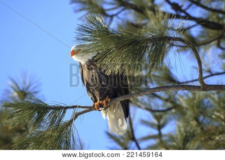 An eagle peeks out from behind a pine bough while perched on a branch near Coeur d'Alene, Idaho.