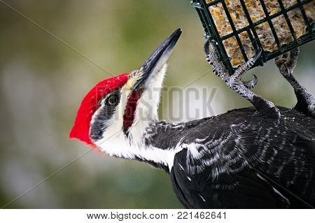 Closeup of male pileated woodpecker - Dryocopus pileatus - dangling on a suet feeder while eating