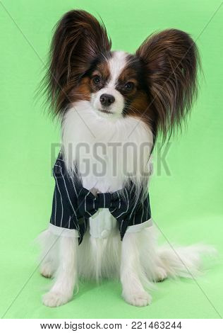 Beautiful young continental spaniel papillon in a tuxedo with a butterfly on a green background