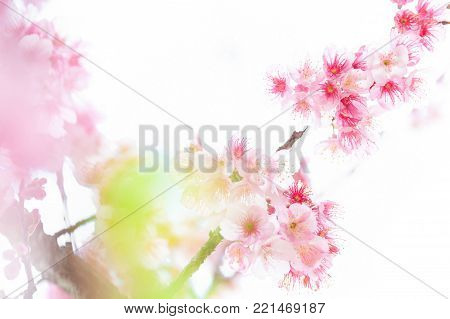Pink blossoms on the branch on white background during spring blooming Branch with pink sakura blossoms isolated. Blooming cherry tree branches isolated on white background. Himalayan blossom