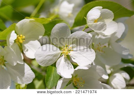 White flowers blossom in springtime. Stock photo.