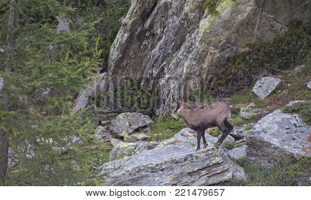 Chamois on a rock on the alps