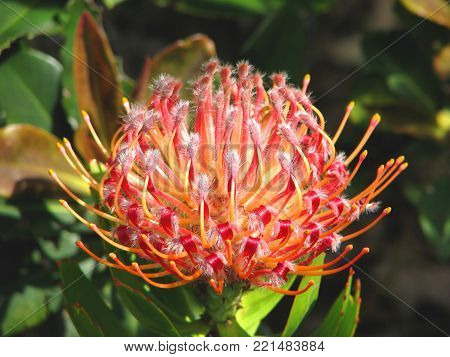 THE LEUCOSPERMUM CORDIFOLIUM BELONGS TO THE PROTEA FAMILY AND IS INDIGENOUS TO SOUTH AFRICA AND IS ALSO KNOWN AS THE PINCUSHION PROTEA