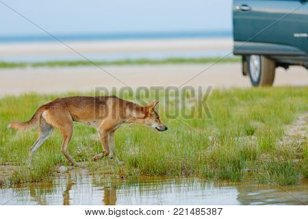 Dingo around the beach in Great Sandy National Park, Fraser Island Waddy Point, QLD, Australia