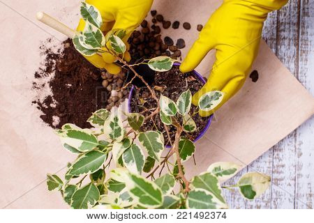 Transplanting houseplants illustration of procedures and tools for caring for indoor plants.