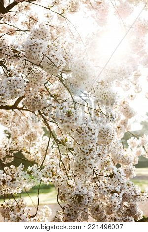 Sunlgiht flare coming through the white sakura cherry blossom flowers on a branch in Tokyo, Japan