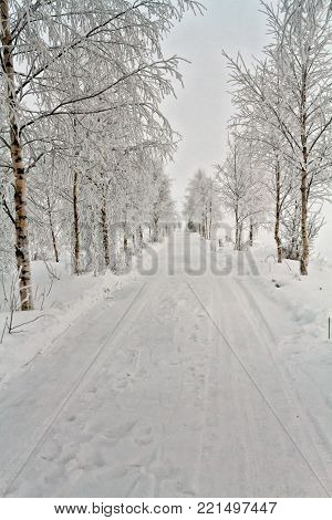 A narrow road leads through the snow covered birch trees in the rural Finland. The frost has covered the branches and the road too.
