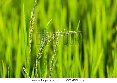 Raw rice grains in paddy field with natural sunlight