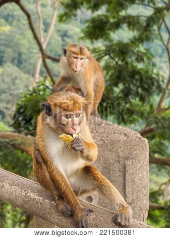 Ceylon-hat monkey or Macaca sinica eating banana at the roadside in rural area of Sri Lanka while the other monkey looking on