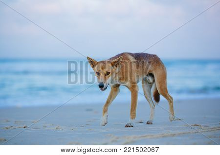 Dingo on the beach in Great Sandy National Park, Fraser Island Waddy Point, QLD, Australia