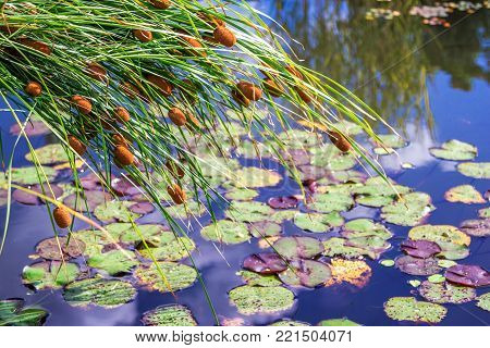 Typha plant, also called cattail, bulrush, reedmace or cattail, growing on a  pond shore with water lily leaves floating on water surface