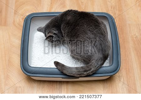 Cat using toilet, cat in litter box, for pooping or urinate, pooping in clean sand toilet. Grey cat breed Russian Blue