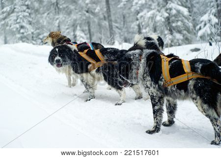 Dog sled in the winter forest: the Alpine shepherds and the leader-mongrel