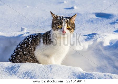 Funny gray tabby cat with yellow eyes peer out from the snow, outdoors