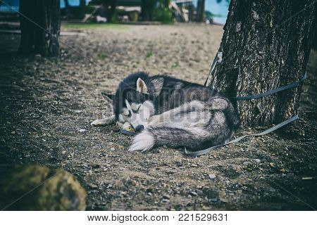 Black and white Siberian husky asleep on the sand under a tree, the Dog lies curled up.