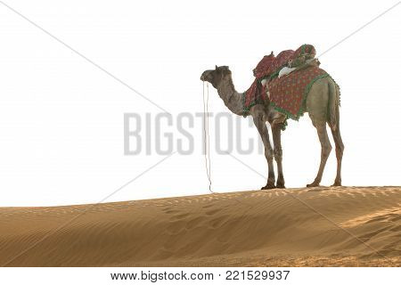 Indian camel (camel drivers) with camels in dunes of Thar desert on sunset. Jaisalmer, Rajasthan, India