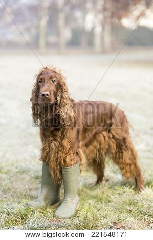 Vertical photo of a funny Irish Setter dog as standing in the grass and wearing rubber boots
