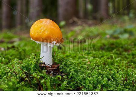 Fungus Leccinum Cyaneobasileucum