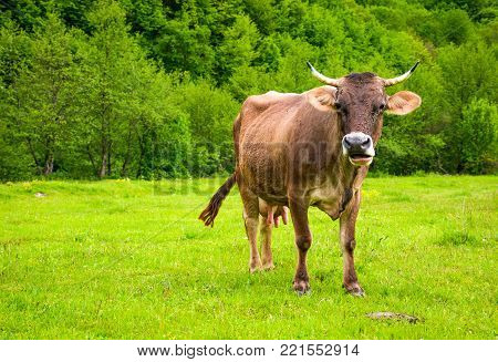 cow with flies on the face. animal in spring green environment