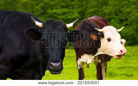 Portrait of two cows with flies on the face. animal in spring green environment
