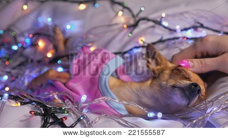 The Toy Terrier is a yellow New Year's dog. The dog lies ridiculously, looks and falls asleep. She is surrounded by garlands and dressed in baby sliders.