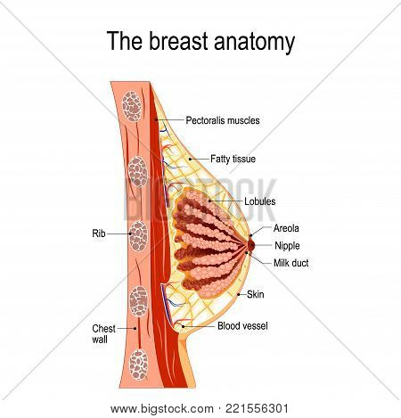 Breast anatomy. Cross-section of the mammary gland. Vector diagram for medical use