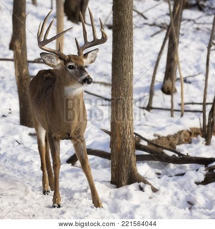 White-tailed deer buck in early winter.  Notable rubs on trees from rut behavior