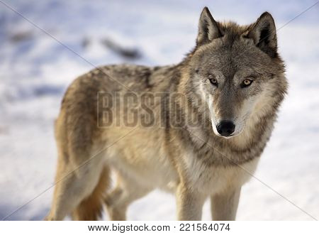 Close up image of gray wolf in winter.  Shallow depth of field.