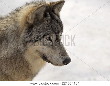 Close up image of a gray wolf in winter