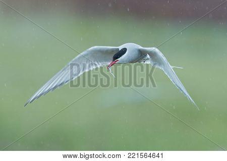 Arctic tern, Sterna paradisaea, in flight with a fish in the beak. Icelandic seabird of the tern family Sternidae. Bird breeding sub-Arctic regions. Flying tern with blurred green background in rain.