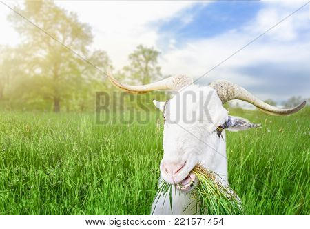 Funny billy goat with grass in its mouth - Funny white male goat with long horns and grass in its mouth, looking at the camera, in a field of green grass, on a sunny day of spring.