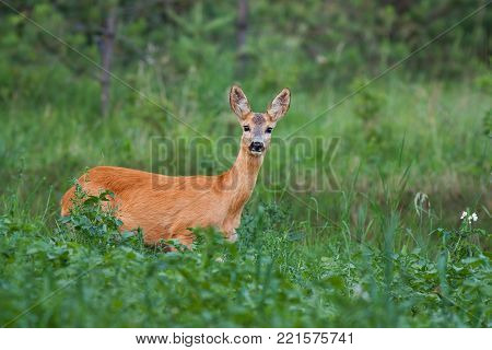 Roe Deer, Capreolus capreolus, Doe in green meadow. Wild animal in summer in fresh green environment. Wildlife scenery with blurred background.